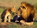 gambar-singa-dan-anaknya